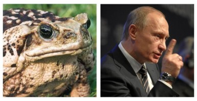 Putin cane toad