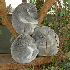 koalas sleeping